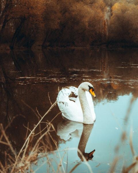 lakeside, wading bird, swan, wings, autumn, swimming, bird, water, lake, nature