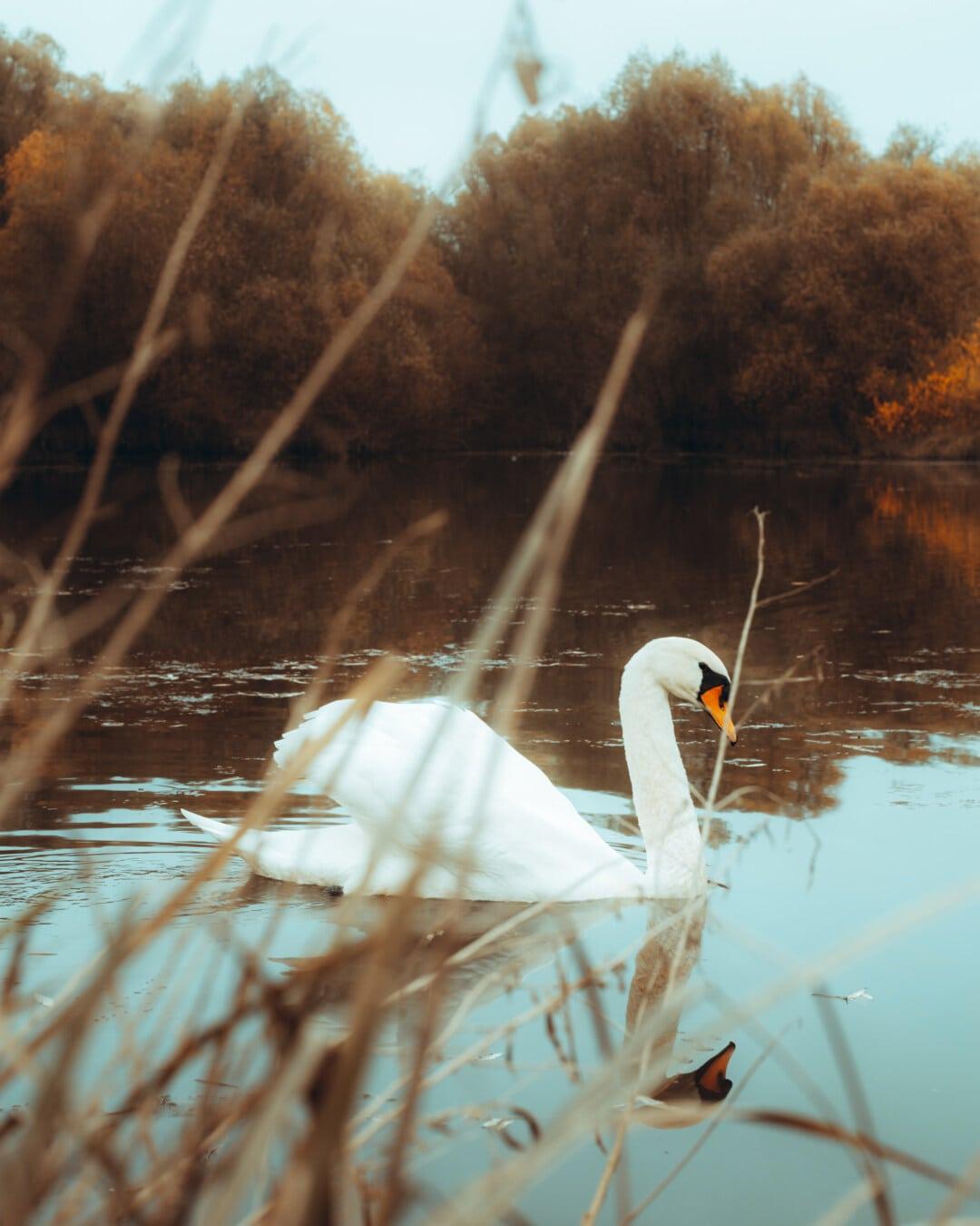 saison de l'automne, marais, cygne, nature, eau, oiseau, oiseaux aquatique, Lac, Hiver, réflexion