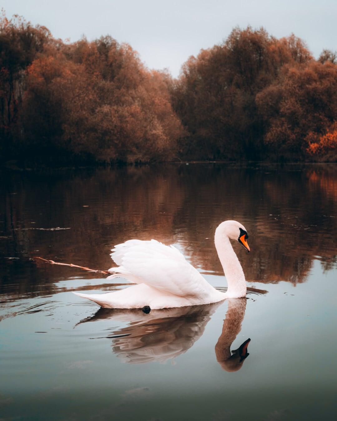 autumn season, swan, grace, swimming, reflection, lake, nature, water, wading bird, bird