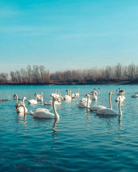 стадо, птица семейството, птици, лебед, Дунав, река, вода, хоризонт, отражение, много