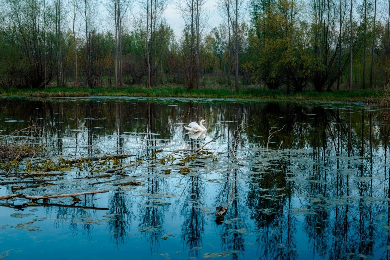 swan, spring time, swamp, majestic, landscape, tree, land, river, wetland, water
