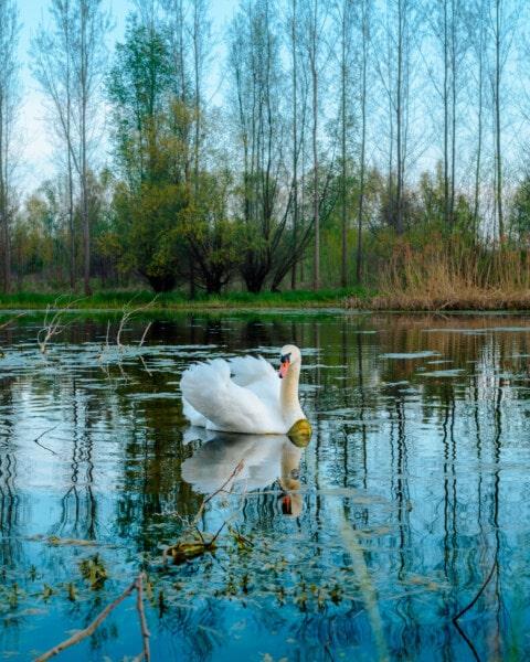 Schwan, Sumpf, Vogel, aquatische Vogel, Wasser, Reflexion, Feuchtgebiet, waten Vogel, Natur, See