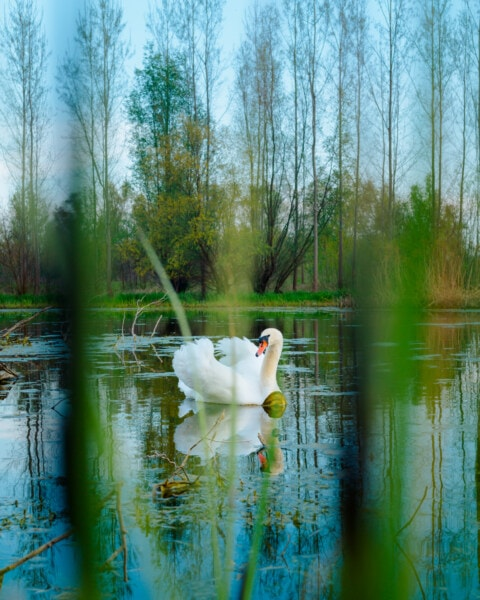 Schwan, Landschaft, Sumpf, Sumpf, aquatische Vogel, Wasserpflanze, grünes Gras, aquatische, See, Fluss