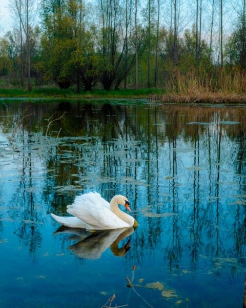 grace, swan, side view, wings, neck, bird, wading bird, nature, reflection, lake