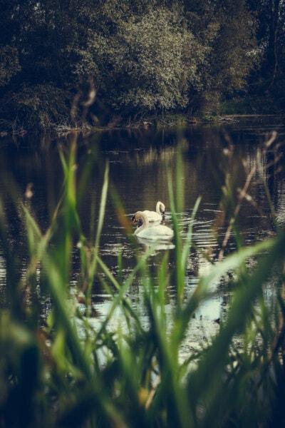 лебед, блатото, пролетно време, езеро, вода, отражение, водни, птица, природата, река