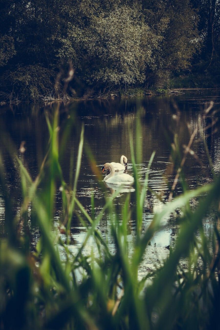 swan, swamp, spring time, lake, water, reflection, aquatic, bird, nature, river