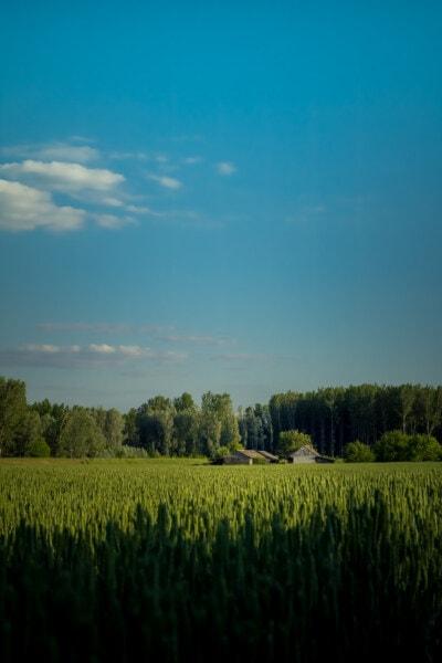 campo de trigo, agricultura, campo, rancho, terras agrícolas, casa de fazenda, fazenda, tempo de primavera, bom tempo, grama