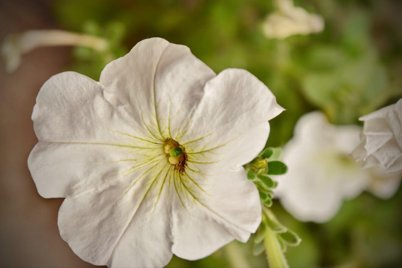 weiße Blume, Petunia, Stempel, aus nächster Nähe, Blatt, Sommer, Garten, blühen, Blume, Anlage