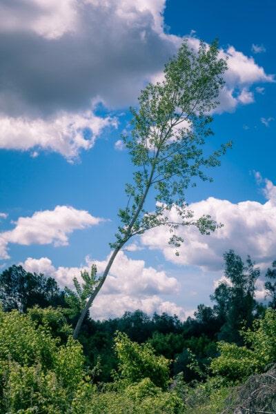 arbre, peuplier, printemps, nature, atmosphère, herbe, paysage, feuille, été, bois