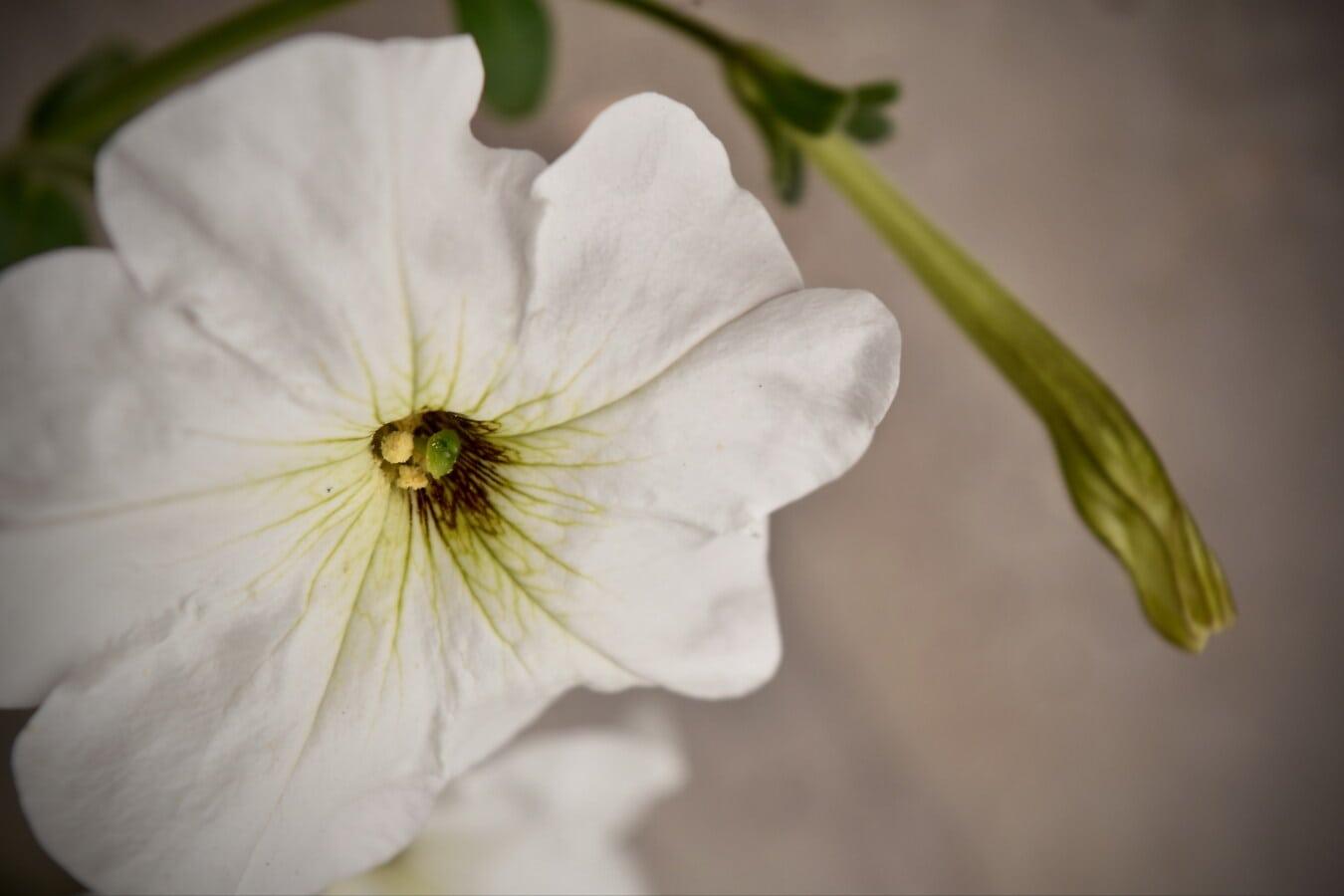 weiße Blume, Petunia, Nektar, Blütenblätter, Pollen, Natur, Kraut, Anlage, Blatt, Blume