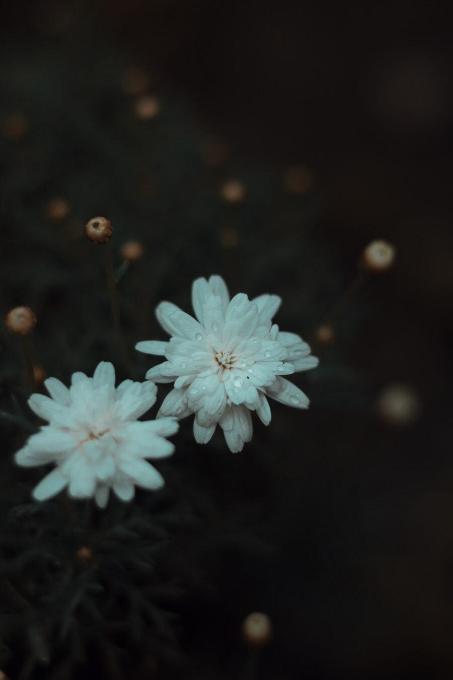 dew, white flower, raindrop, shadow, wildflower, flowers, bloom, flower, blossom, spring