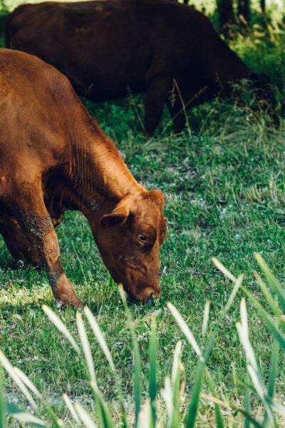 brun, vache, pâturage, manger, animaux, Agriculture, herbe, rural, animal, ferme