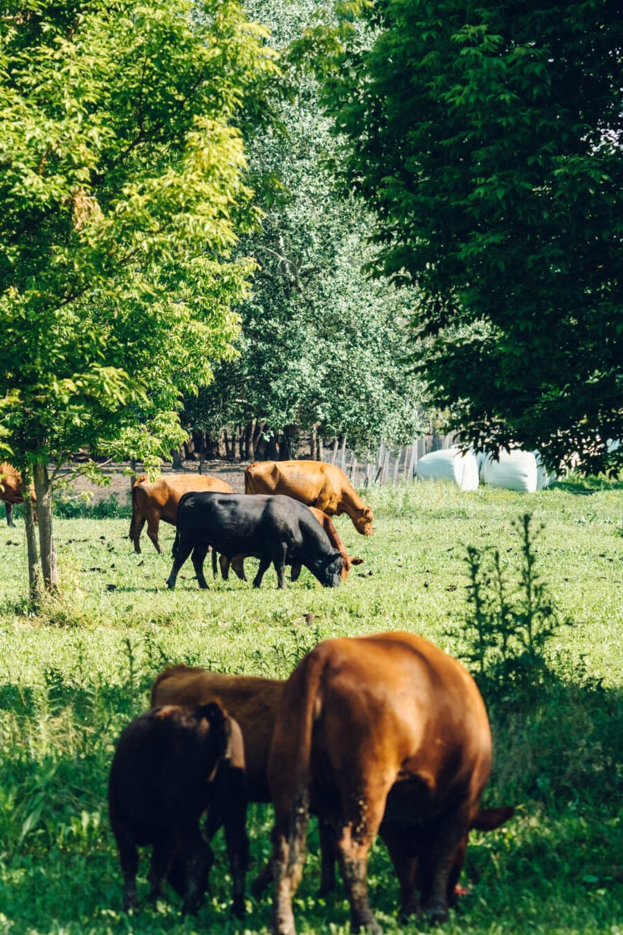 Vieh, Kühe, Rinder, Schwarz, Bull, Ranch, Feld, des ländlichen Raums, Bauernhof, Kuh