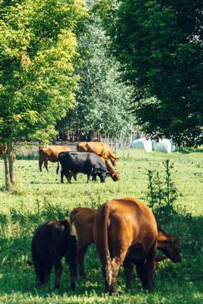 Schwarz, Bull, Tiere, Kuh, Vieh, Rinder, Rinder, Weiden, des ländlichen Raums, Ranch