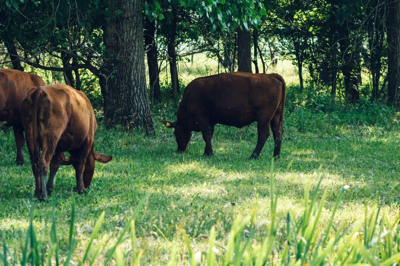 brun, Bull, pâturage, les terres agricoles, herbe, chevaux, domaine, bovins, prairie, vache