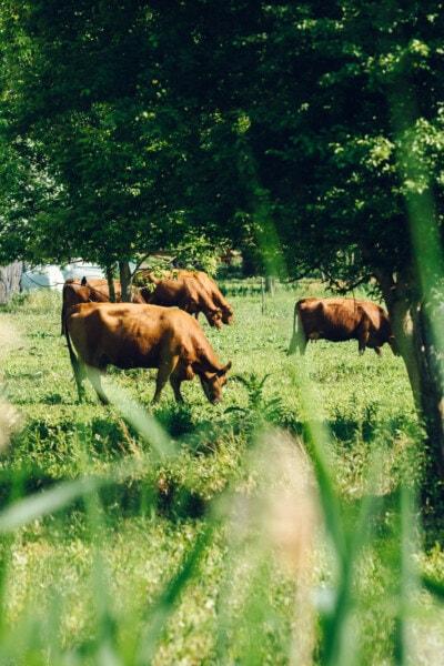 brun clair, vaches, pâturage, herbe, domaine, chevaux, Ranch, ferme, rural, prairie