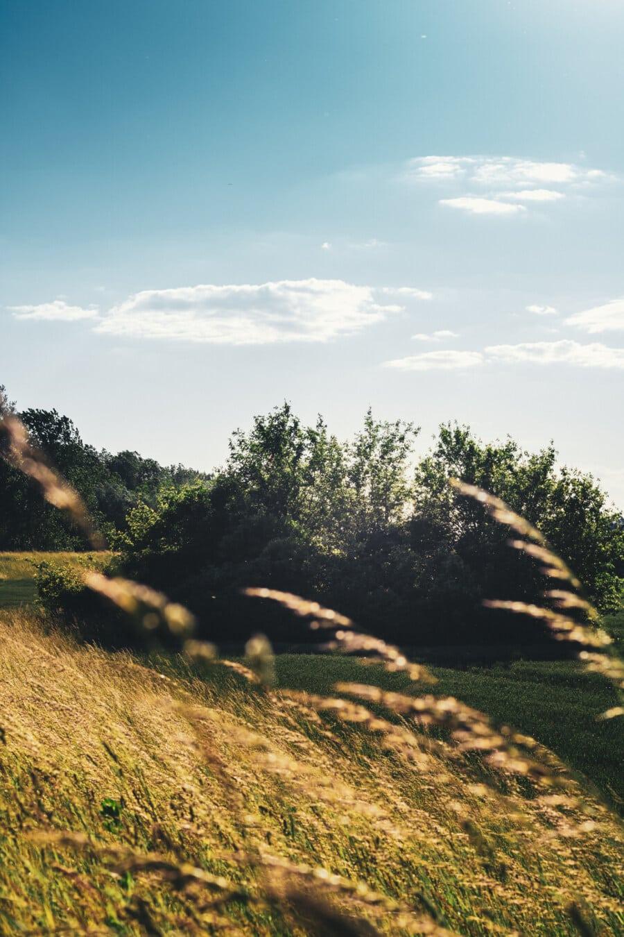 câmp, Wheatfield, agricole, coastă de deal, dealuri, plop tremurător, peisaj, copac, natura, iarba