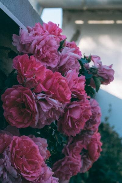 バラ, ピンク, バルコニー, ブッシュ, フローラ, ガーデン, 葉, ピンク, ローズ, 花