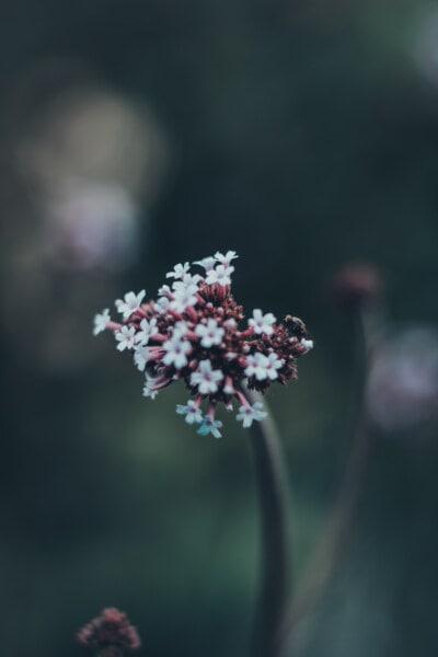 white flower, yarrow, wildflower, close-up, insect, wilderness, wildlife, blur, flower, blossom