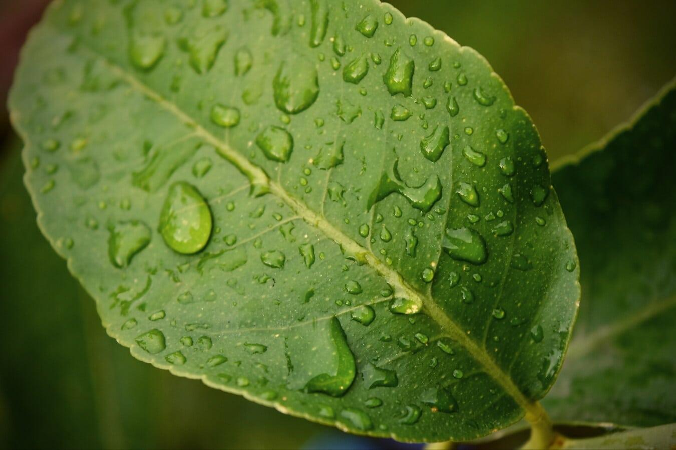grünes Blatt, aus nächster Nähe, Tau, Zitrus, Struktur, Zitrone, Geäst, Kondensation, nass, Feuchtigkeit