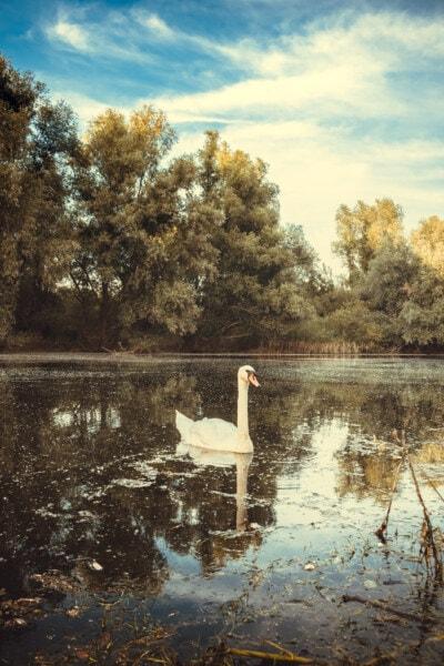 swan, young, beautiful photo, bird, swamp, sunshine, lakeside, sunny, majestic, reflection