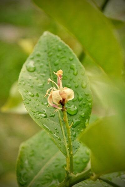 Blütenknospe, Blume, Zitrone, Stempel, Zitrus, Feuchtigkeit, Wassertropfen, Regentropfen, Organismus, Bio