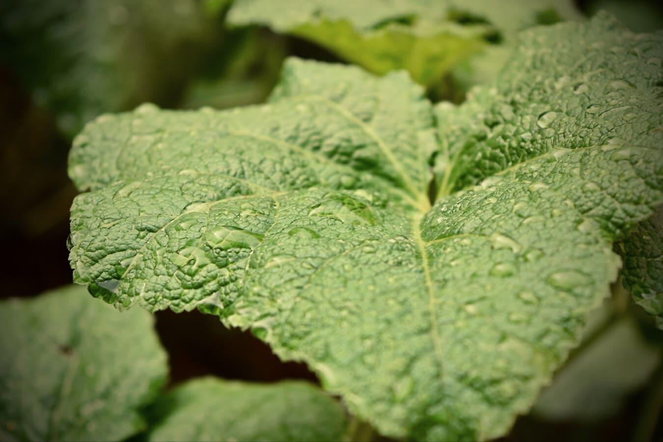 великий, зелений лист, вологість, ранок, роси, завод, лист, рослина, природа, флора