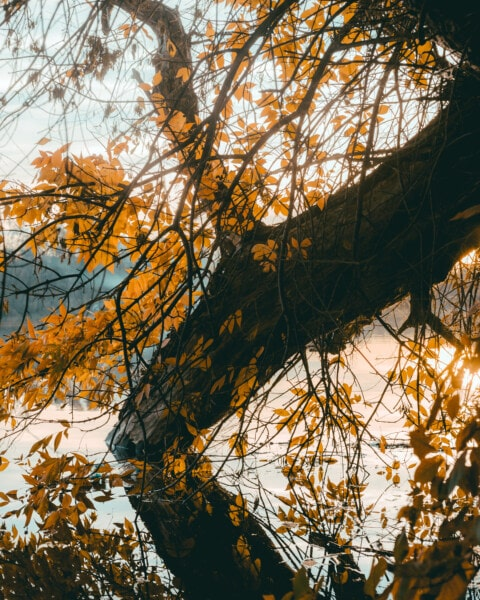 gros, arbre, berge, branches, couleur, jaune orangé, feuilles, feuille, bois, automne