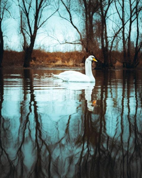 лебед, двойка, Lakeside, плуване, мигрираща блатна птица, птица, природата, отражение, вода, езеро