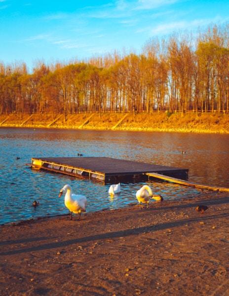 Слънчев, Съншайн, мигрираща блатна птица, патици, есенния сезон, лебед, вода, езеро, пейзаж, река