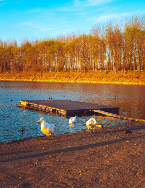 Сонячно, яскраве сонячне світло, wading птахів, качки, осінній сезон, Лебідь, води, озеро, краєвид, Річка