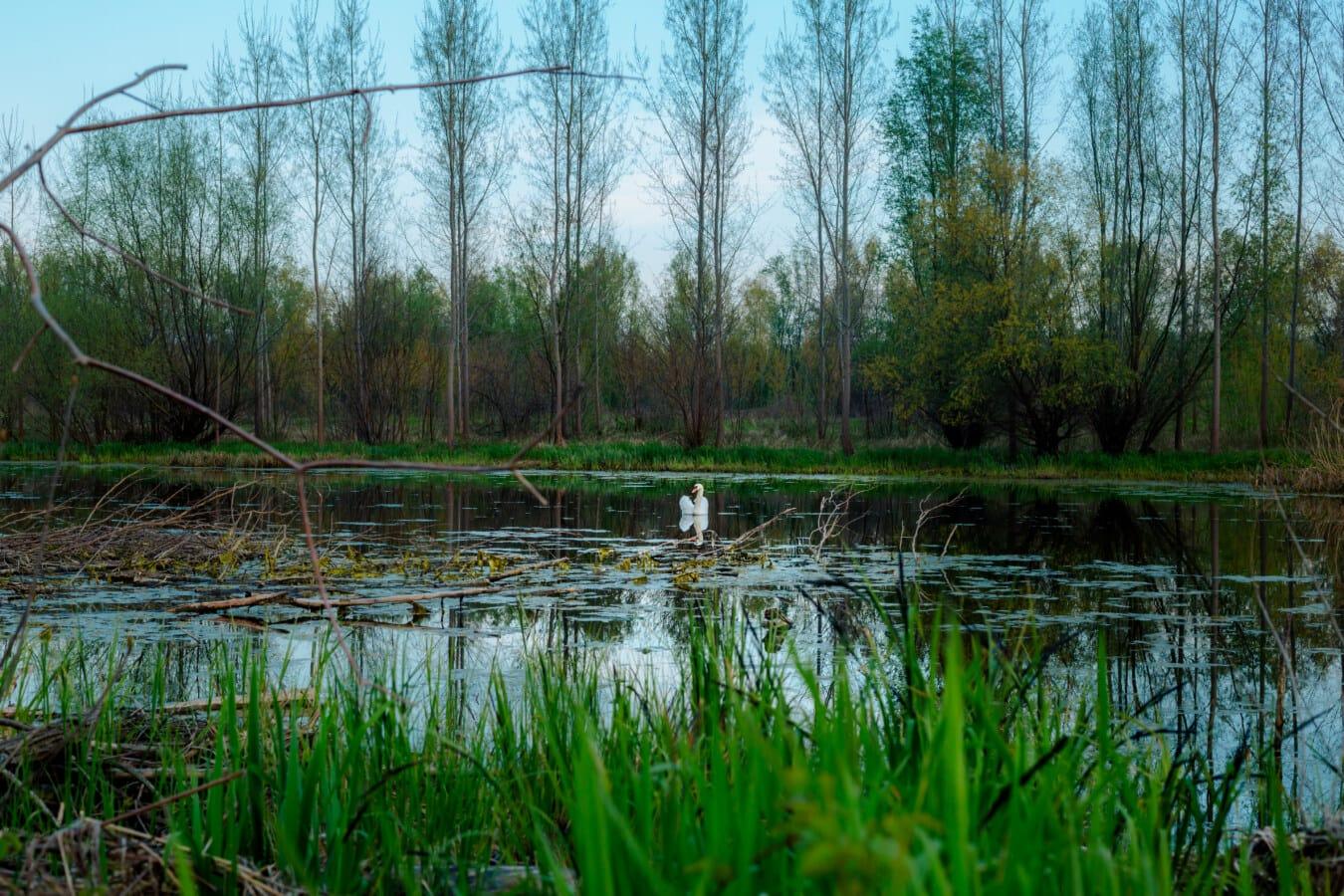 Marschland, Schwan, Sumpf, Wildnis, Tierwelt, Natur, Land, Wasser, Feuchtgebiet, Landschaft