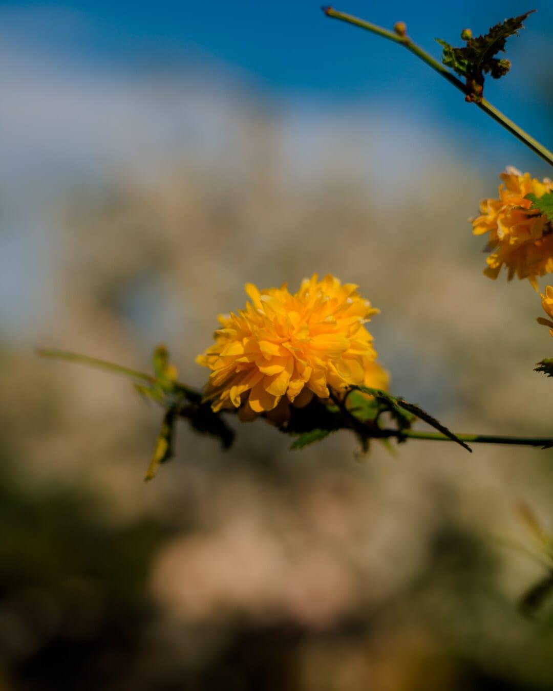 fleurs, jaune orangé, printemps, branches, arbuste, plante, flore, Jaune, herbe, nature