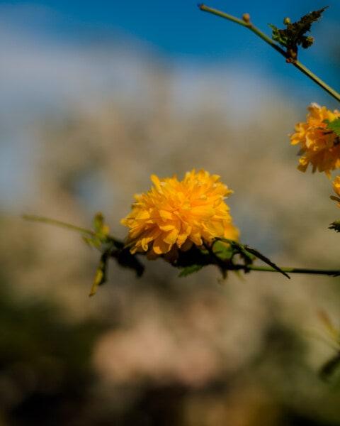 Blumen, Orange gelb, Frühling, Geäst, Strauch, Anlage, Flora, gelb, Kraut, Natur