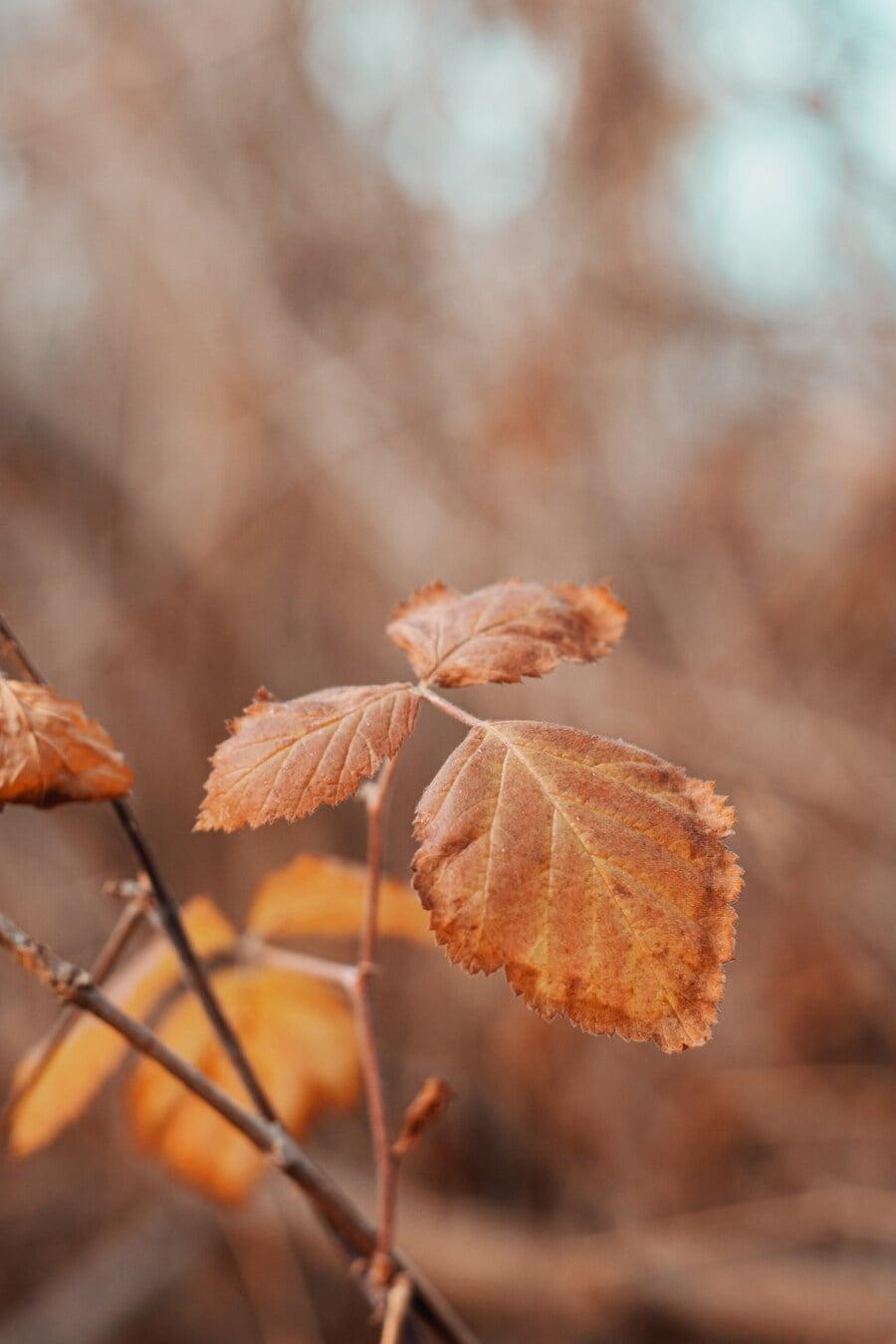 branchlet, leaf, autumn season, focus, close-up, nature, wood, outdoors, tree, blur