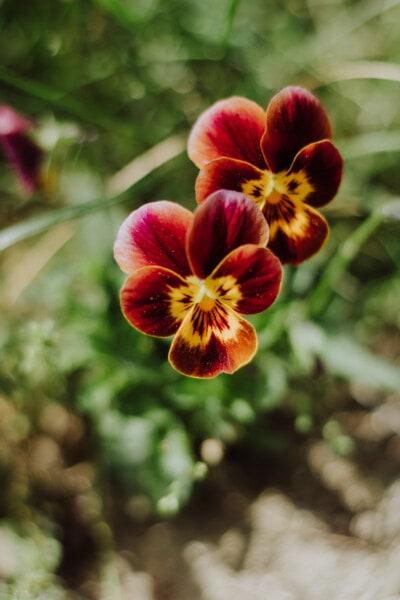 orange yellow, flowers, flower garden, petunia, petal, herb, summer, garden, nature, blossom