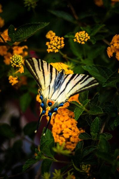 Butterfly kukka, Butterfly kasvi, perhonen, kukka, lehti, luonto, hyönteinen, pensas, keltainen, kesällä