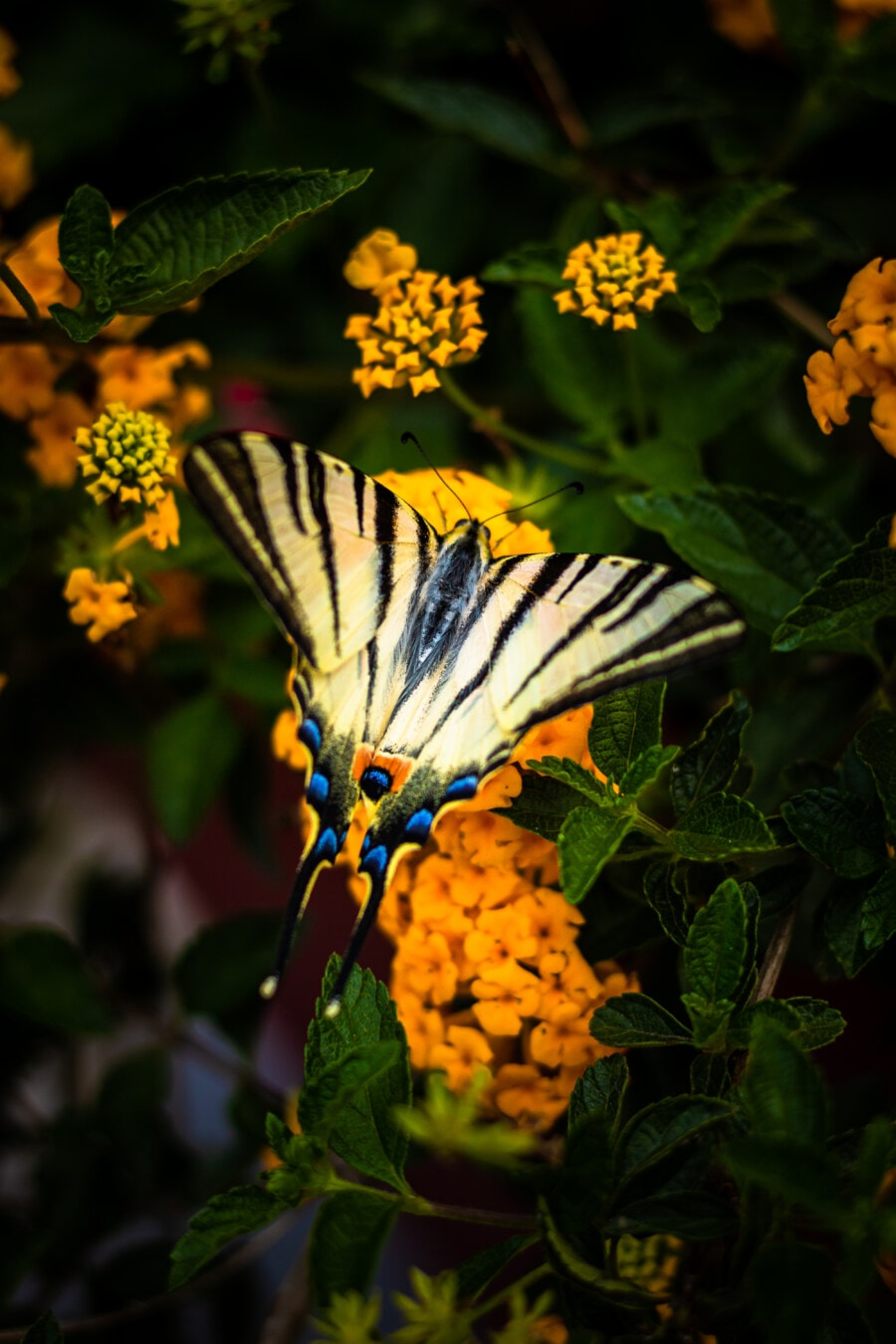 butterfly flower, butterfly plant, butterfly, flower, leaf, nature, insect, shrub, yellow, summer