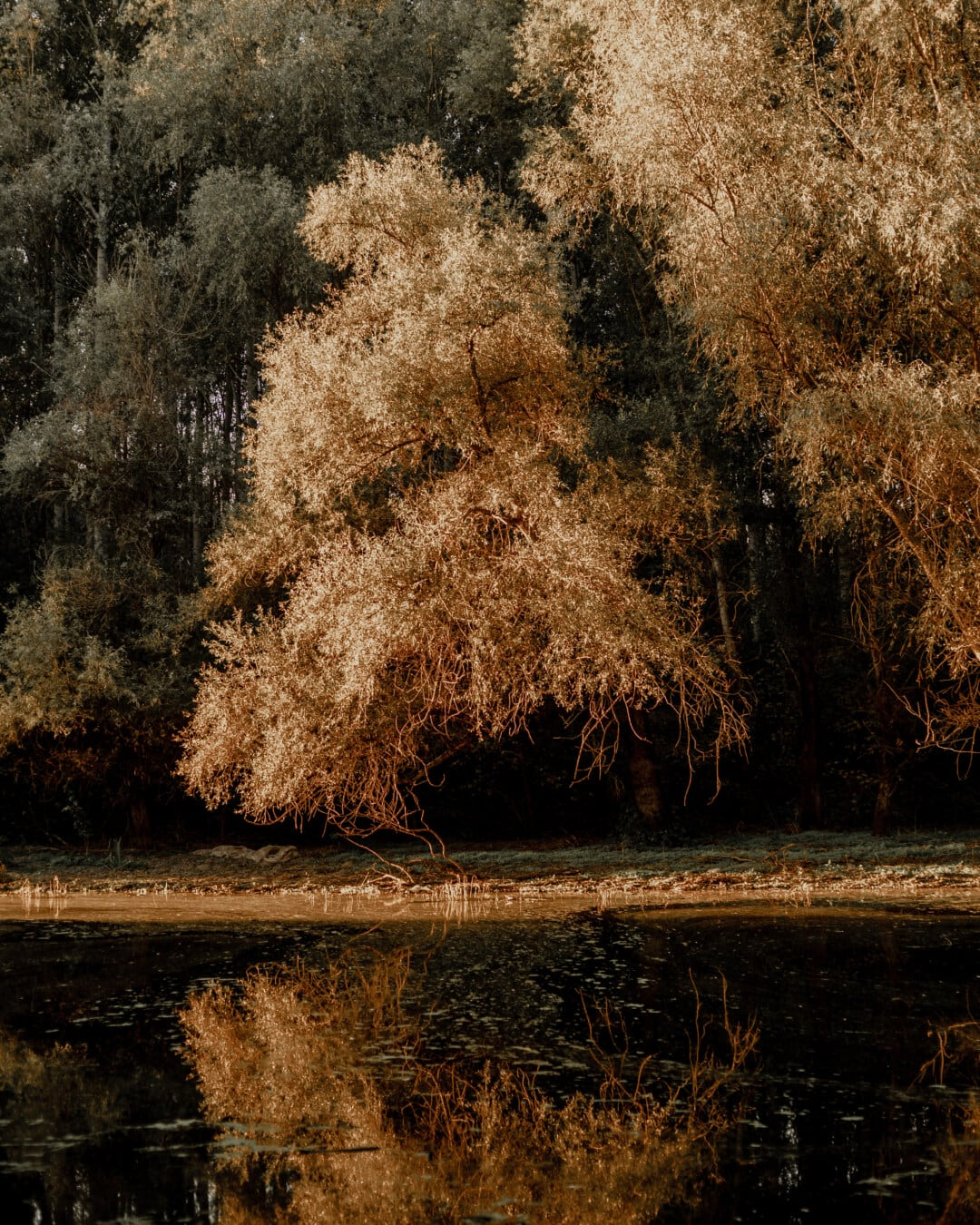 Bäume, Herbstsaison, am See, goldener Schein, Landschaft, Holz, Struktur, Natur, Park, Farbe