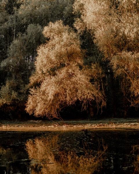 stromy, jesennej sezóny, pri jazere, zlatistá žiara, Príroda, drevo, strom, príroda, park, farba