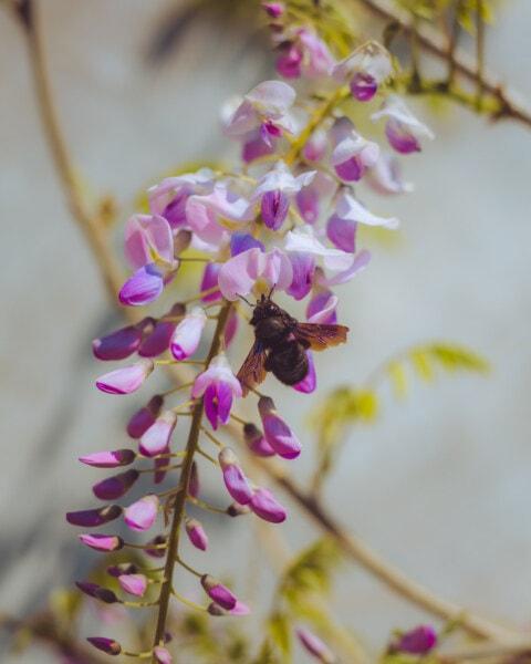 Bourdon, insecte, les pollinisateurs, branches, pollen, Acacia pycnantha, nectar, fleur, plante, printemps