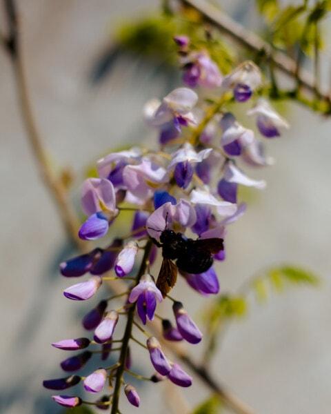kimalainen, akaasia, keväällä, violetin, kukat, lehti, luonto, pensas, kasvisto, kasvi