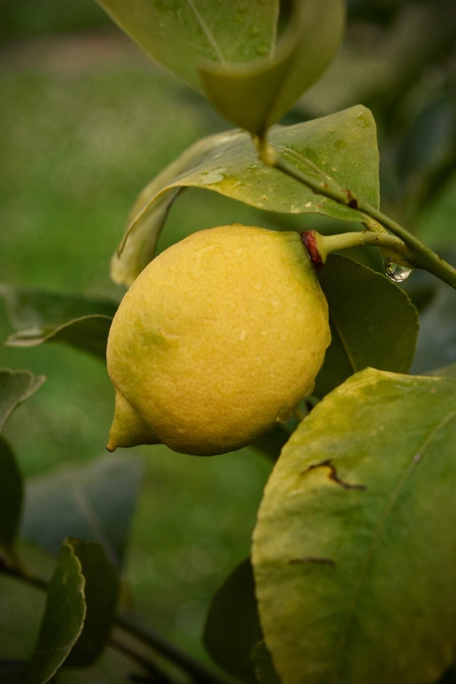 Bäume, Zitrone, Obst, Obstbaum, aus nächster Nähe, Landwirtschaft, grüne Blätter, Geäst, Essen, Produkte