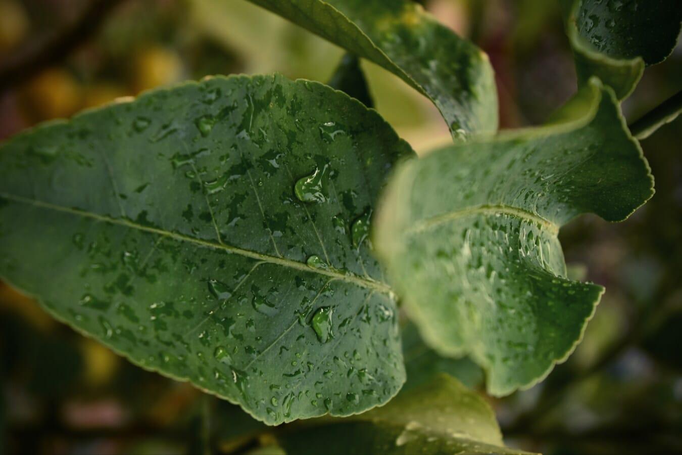 Wassertropfen, Regentropfen, nass, grüne Blätter, Flüssigkeit, Feuchtigkeit, Zweig, Flora, Kraut, Blatt
