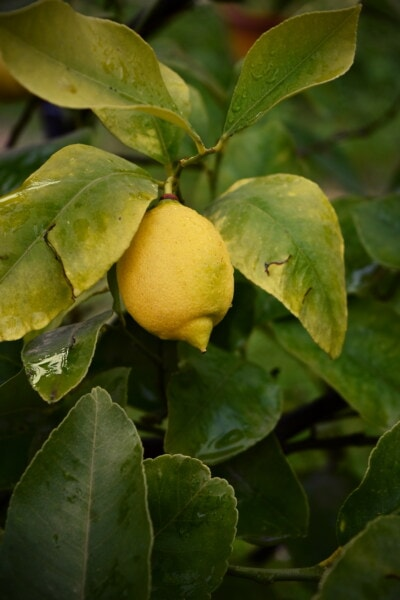 citrus, lemon, tropical, exotic, fruit tree, fruit, agriculture, close-up, raindrop, moisture