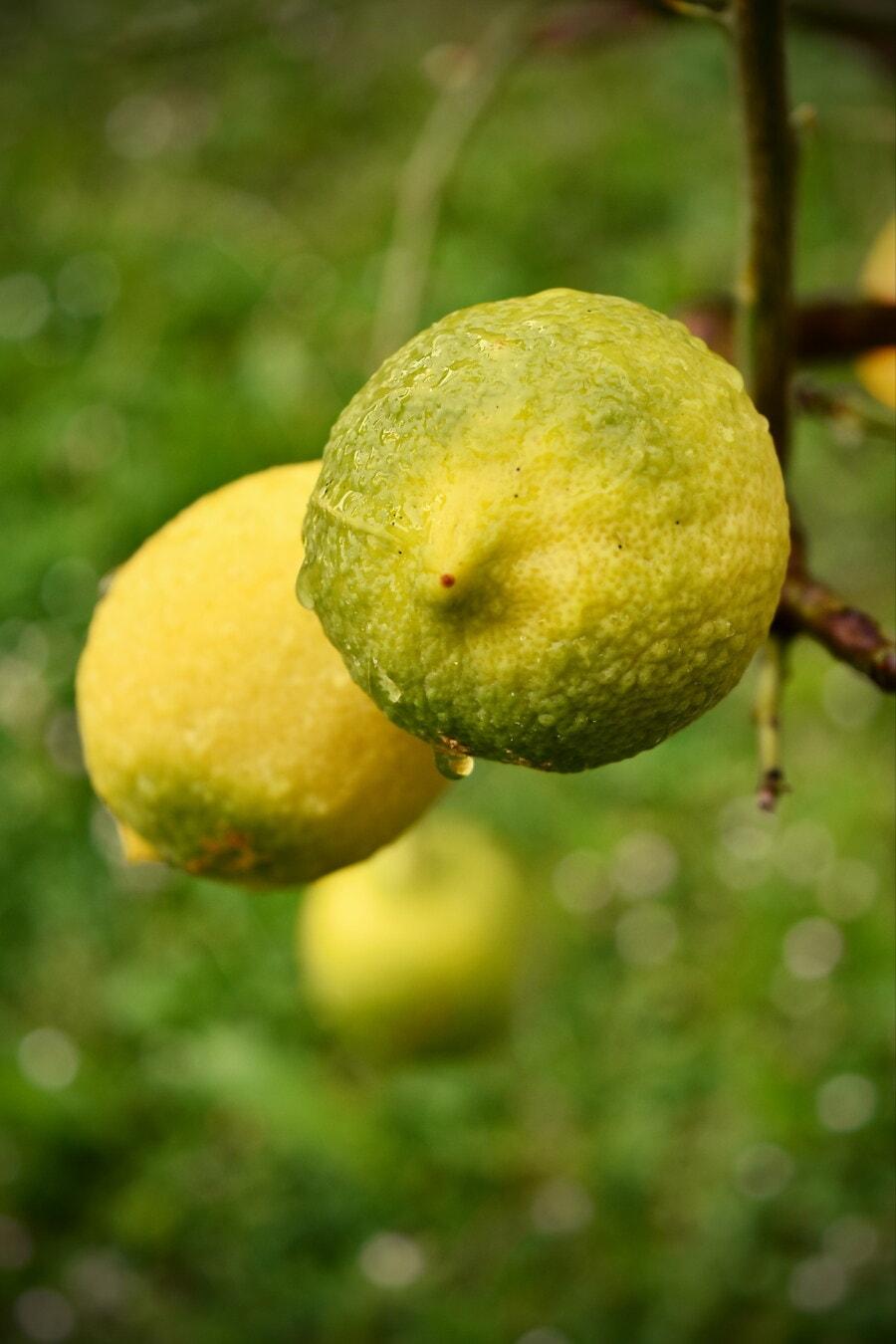 citrus, moisture, lemon, fruit, lime, raindrop, fruit tree, orchard, organic, fresh