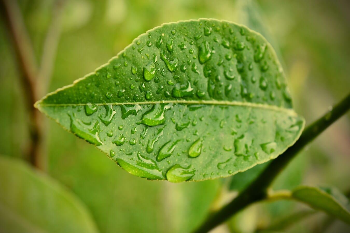 grünes Blatt, nass, Regentropfen, Natur, Frühling, Zweig, Feuchtigkeit, Flora, Blatt, Anlage