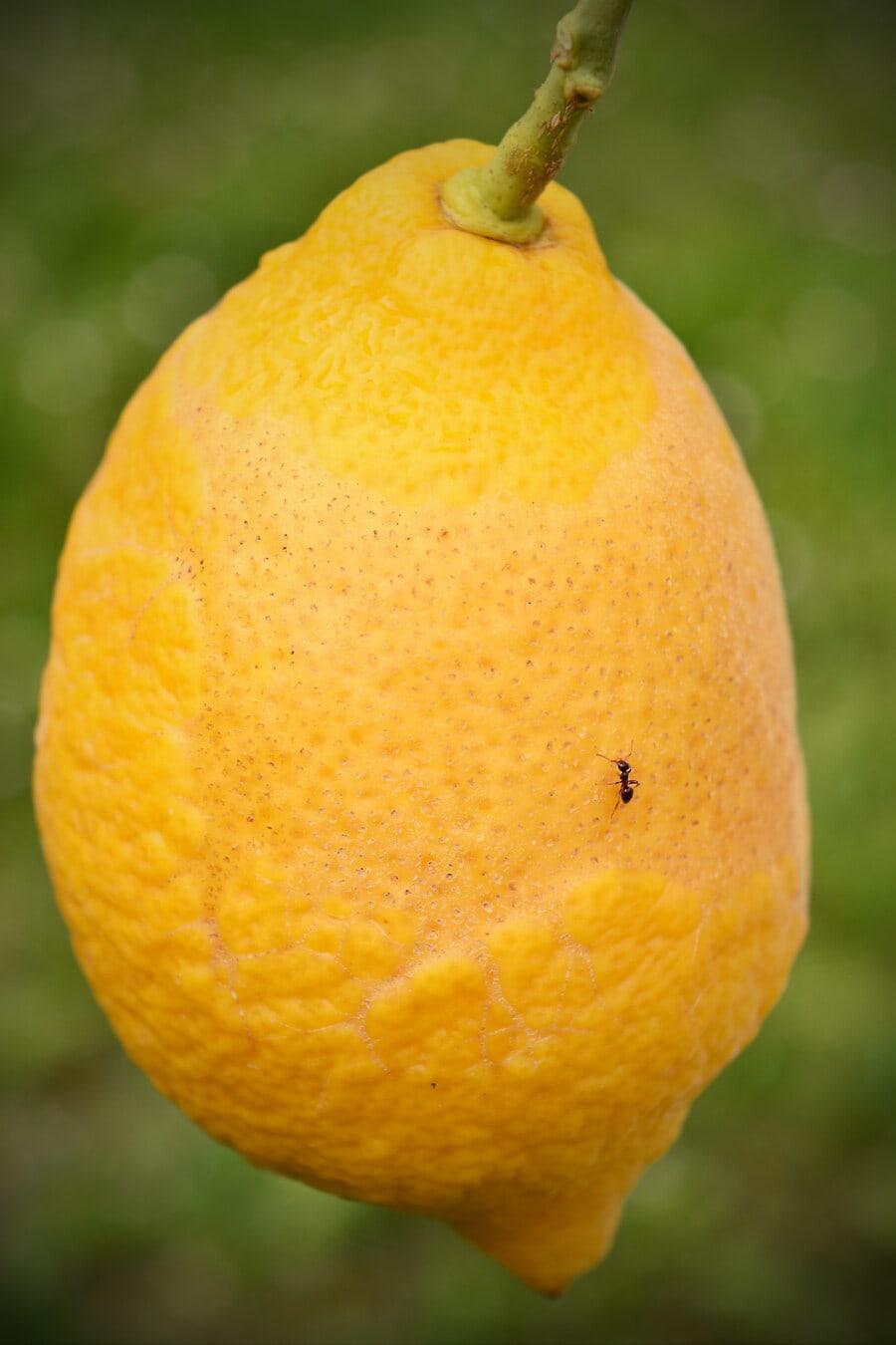 Obstbaum, Obst, groß, Zitrone, hängende, Zweig, Ameisen, Insekt, Essen, Produkte