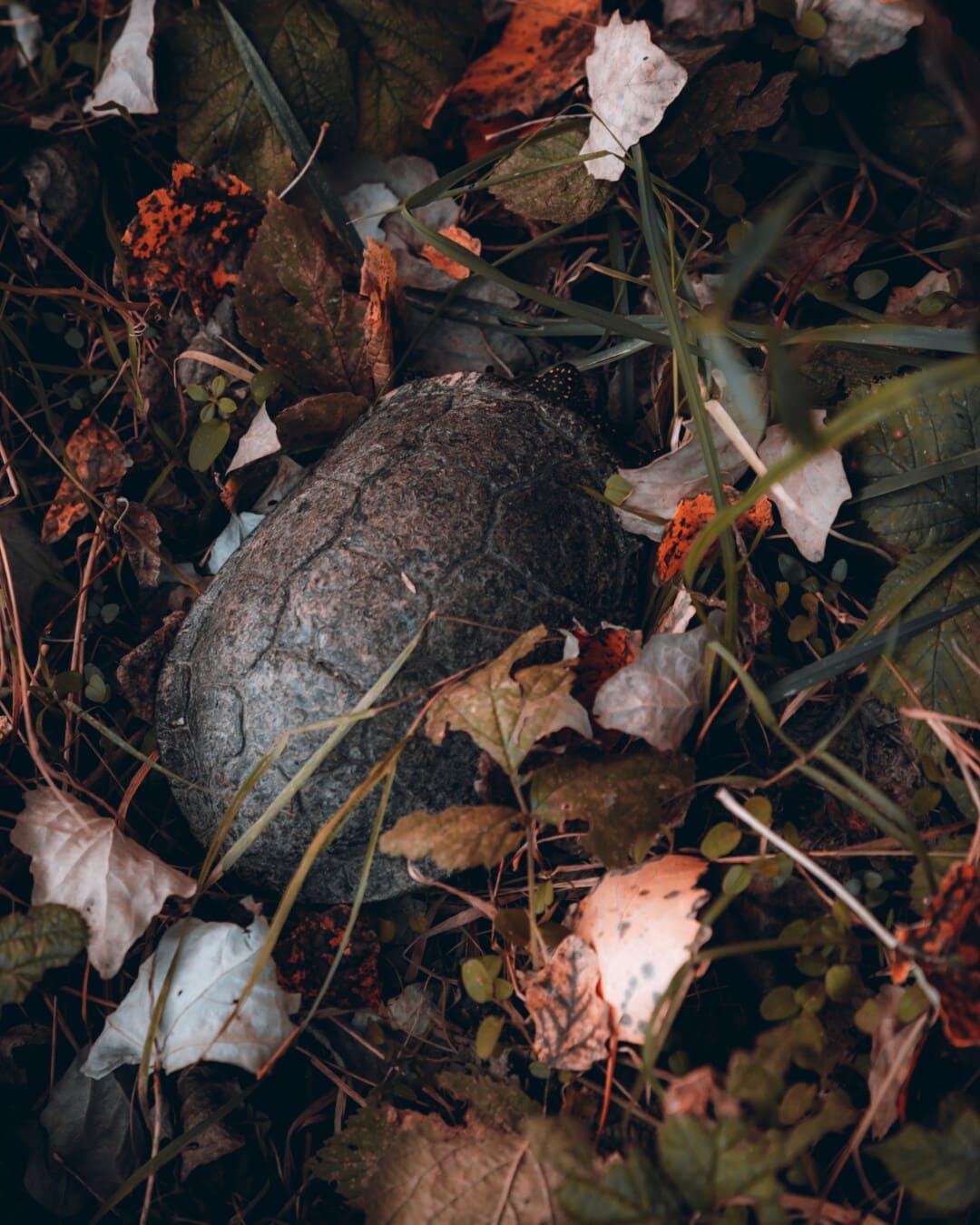 Herbstsaison, Wald, Schildkröte, Tier, Reptil, Blatt, Farbe, Blätter, Herbst, Tiere