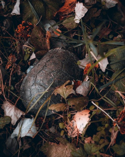 autumn season, forest, turtle, animal, reptile, leaf, color, leaves, autumn, animals